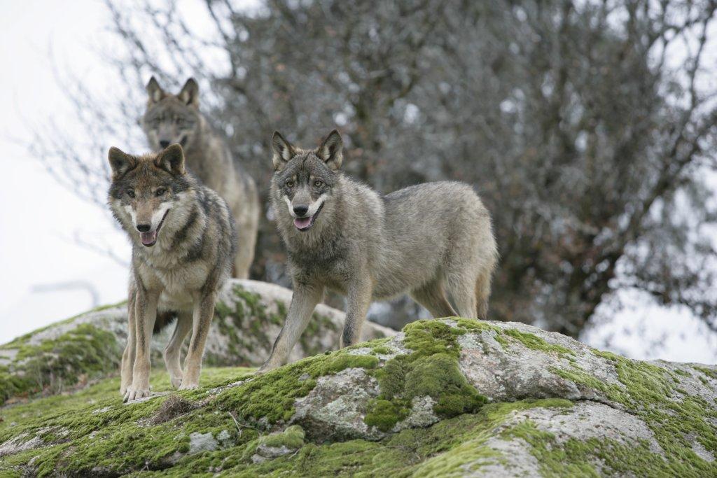 El Área de Medio Ambiente de IULV-CA Córdoba felicita al pleno de Diputación por rechazar la propuesta del PP para paralizar el proyecto sobre el lobo en Andalucía