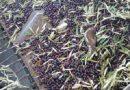 Ecologistas en Acción reclama la prohibición inmediata de la recogida nocturna de aceitunas por la altísima mortalidad de aves que provoca
