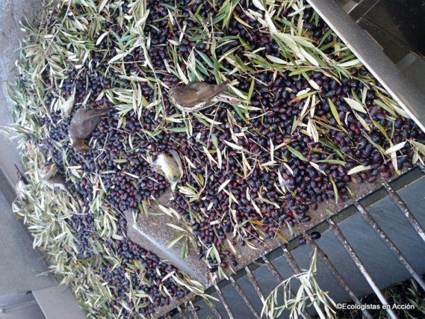 Ecologistas aplaude la prohibición de recoger aceituna por la noche
