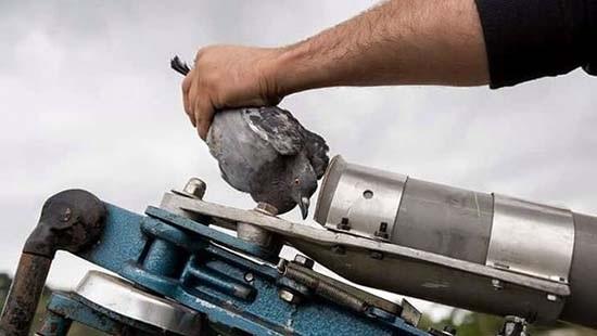 Ecologistas en Acción y SEO/BirdLife denuncian las tiradas de codorniz a máquina en Andalucía.