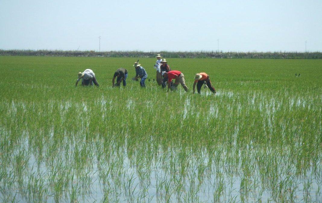 El arrozal necesita adaptarse a nuevos retos para su sostenibilidad en el entorno de Doñana