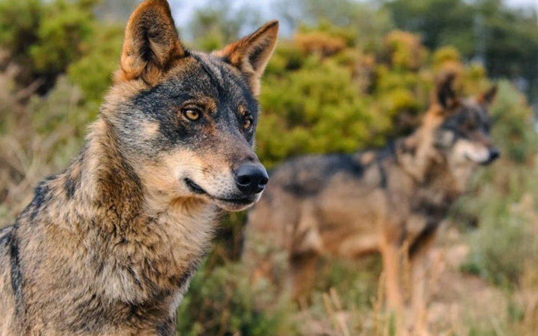 Varias entidades ecologistas insisten en la catalogación del lobo en peligro de extinción