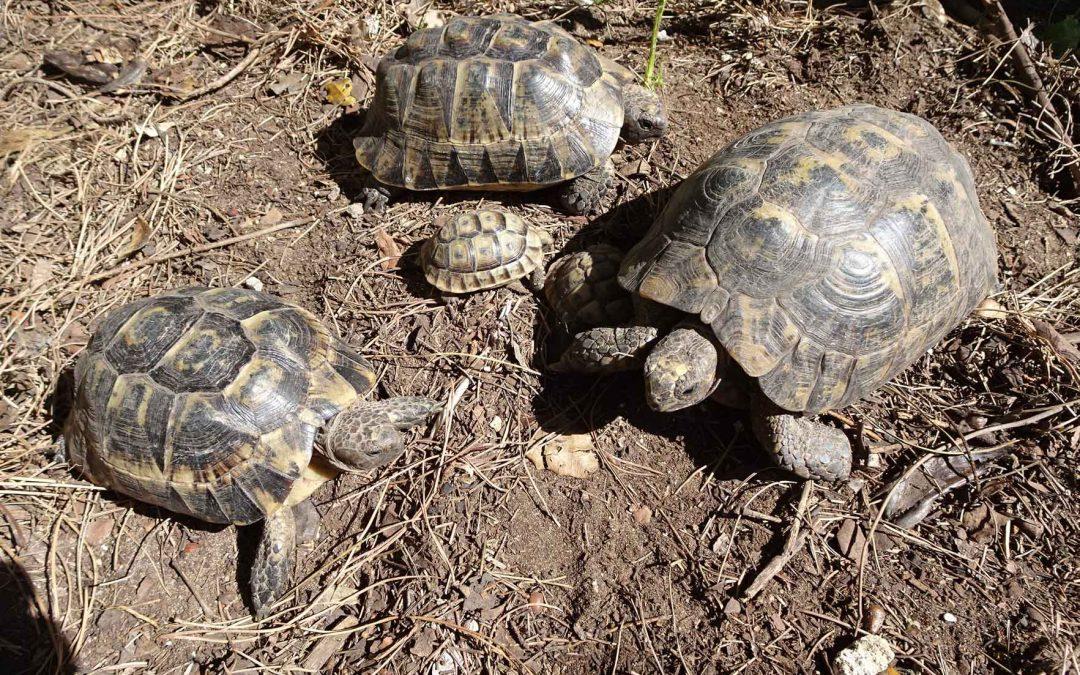 Mueren miles de tortugas moras en un centro de recuperación de la Junta de Andalucía