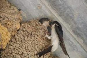 Continúan los casos de derribos de nidos de aves en época reproductiva